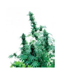 Sensi Seeds – Early Skunk Cannabis Seeds