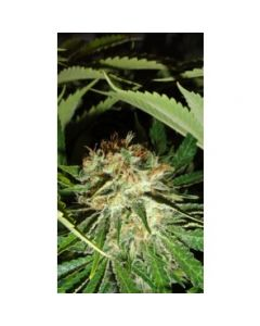 Green Label Seeds - Everest Bud