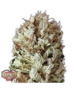 Heavyweight Seeds – Extreme Impact Auto Cannabis Seeds