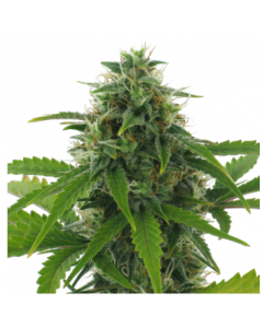 AC Genetics - Fast Haze Marijuana Seeds