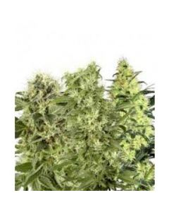 Sensi Seeds – Female Mix Cannabis Seeds