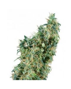 Sensi Seeds – First Lady Cannabis Seeds