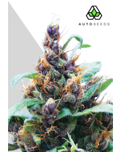 Auto Seeds - Purple Stilton Cannabis Seeds