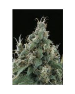 Sagarmatha Seeds – Flow Marijuana Seeds
