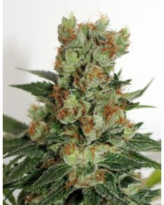 Ripper Seeds – Fuel OG Marijuana Seeds
