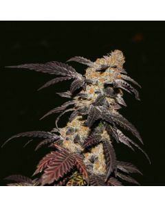 TH Seeds – French Cookies Cannabis Seeds