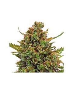 Dispensario Seeds – Clinical Marijuana Seeds