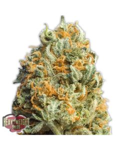 Heavyweight Seeds – Fully Loaded Auto Cannabis Seeds
