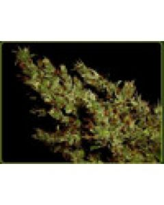 Soma Seeds – G13 Haze x Haze Heaven Marijuana Seeds