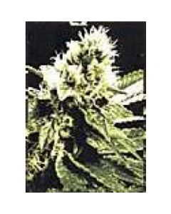 High Quality Seeds - Ghandi