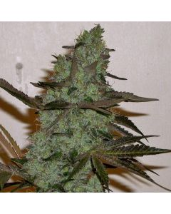 Connoissuer Genetics - Girl Scout Cookies