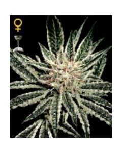 Greenhouse Seeds – El Nino Marijuana Seeds