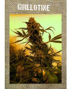 French Touch – Guillotine Autoflowering Marijuana Seeds