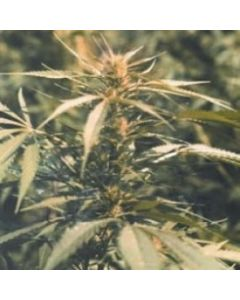 Sativa Seedbank Seeds – Hawaii Maui Waui Marijuana Seeds