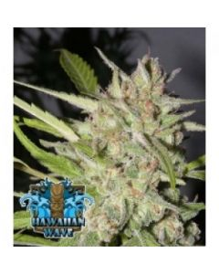 Ripper Seeds – Hawaiian Wave Marijuana Seeds