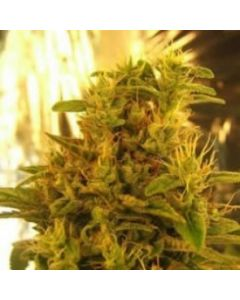 Sativa SeedbankSeeds – Haze #1  Marijuana Seeds