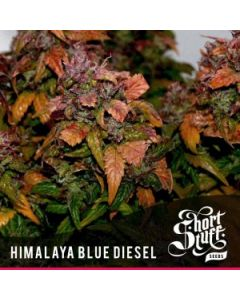 Short Stuff Seeds – Himalayan Blue Diesel Auto Marijuana Seeds
