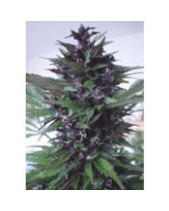 Homegrown Fantaseeds - Homegrown Purple