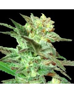 DNA Genetics - Honey BooBoo