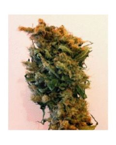 Simply Female Seeds – Honey Haze Marijuana Seeds