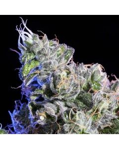 Element Seeds – Huckle Berry Marijuana Seeds