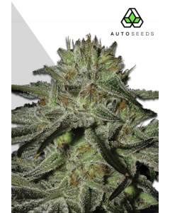 Auto Seeds – Kush Doctor Cannabis Seeds