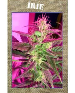 French Touch – Irie Marijuana Seeds