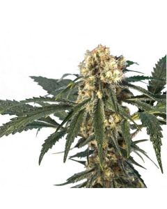 Hero Seeds – Iron Flow 47 Cannabis Seeds