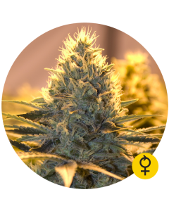 Bulldog Seeds – Jack Herer Auto Cannabis Seeds