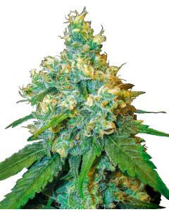 Sensi Seeds – Black Jack Herer Cannabis Seeds
