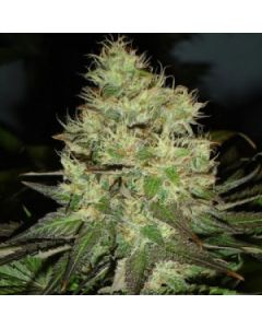 Black Skull Seeds – Five O Marijuana Seeds