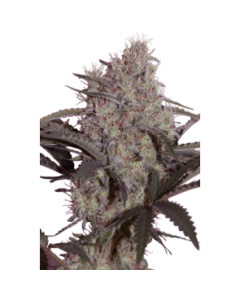 Seedmakers Seeds – Jack Widow Marijuana Seeds