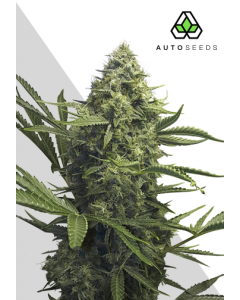 Auto Seeds – Sweet CBD Auto Cannabis Seeds