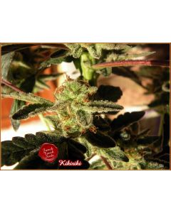 French Touch – Kikirki Marijuana Seeds