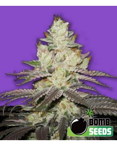 Bomb Seeds – Killer Purps Cannabis Seeds