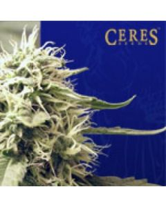 Ceres Seeds - Kush