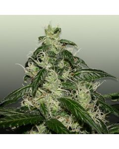 Royal Dutch Genetics Seeds – L.A. Cheese Cannabis Seeds