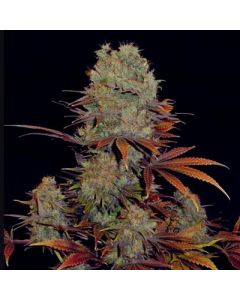 VIP Seeds – Landysh Marijuana Seeds