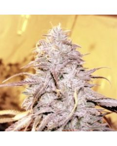Loud Seeds – Loud Dream Cannabis Seeds