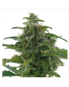 AC Genetics - Low Diesel Marijuana Seeds