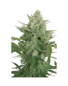 Seedmakers Seeds – Low Dwarf Marijuana Seeds