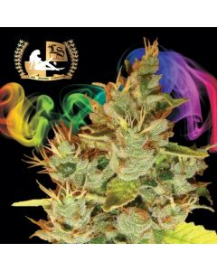 Lady Sativa – Orangenesia Cannabis Seeds