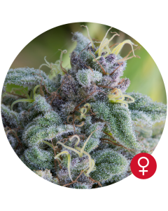 Bulldog Seeds – Mataro Blue Cannabis Seeds