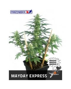 Positronics Seeds - May Day Express Marijuana Seeds