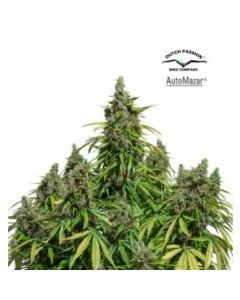 Dutch Passion - Mazar Auto