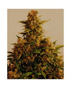 Simply Female Seeds – Mega Lemonista Marijuana Seeds