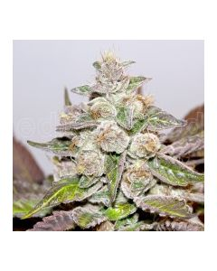 Medical Seeds – Mendocino Purple Kush Marijuana Seeds