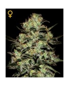 Green House Seeds - Moby Dick