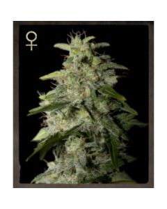 Strain Hunters Seeds – Money Maker Marijuana Seeds