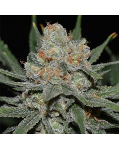 Genehtik Seeds – Nevil Bilbo Auto Cannabis Seeds